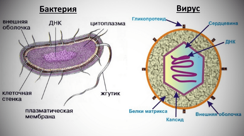 разница между вирусами и бактериаями