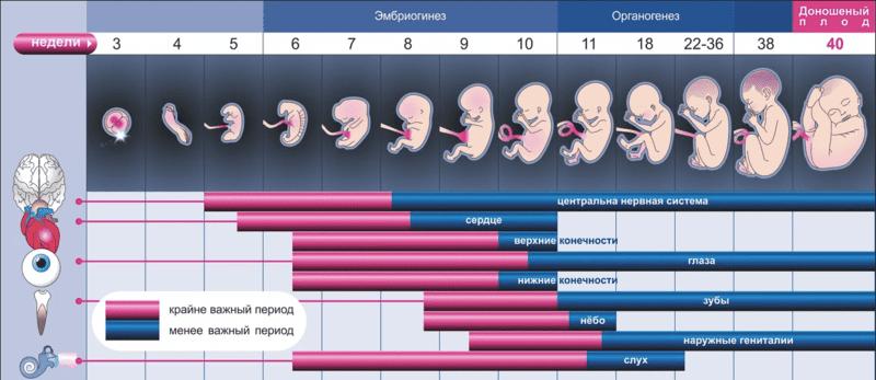 вагітність і розвиток плода