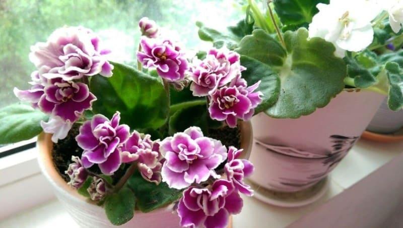 цветение фиалок круглый год