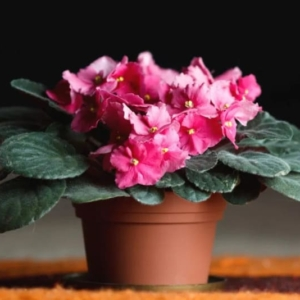 секрет цветения фиалок